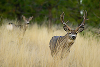 Mule Deer buck (Odocoileus hemionus) with doe in background.  Western U.S., Fall.