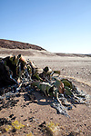 A lone Welwitschia (Welwitschia mirabilis) plant survives in the Messum river bed near the Brandberg Mountain in former Damaraland in central Namibia.
