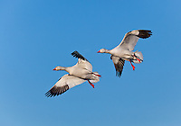 Two Snow Geese in flight in Bosque del Apache National Wildlife Refuge