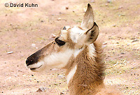 0606-1109  Pronghorn (Prong Buck) in Sonoran Desert, Antilocapra americana  © David Kuhn/Dwight Kuhn Photography