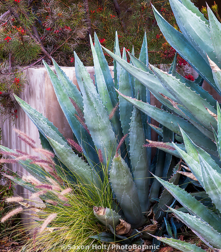 Gray foliage Agave americana in California summer-dry garden; design Jo O'Connell
