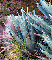 Gray foliage Agave americana in California summer-dry garden; design Jo O'Connell