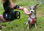 SPCA dog Cookie sits for a close up as  a Comcast videographer films her for a local pet adoption searchable feature.