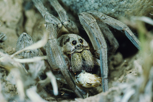 Wolf Spider, Lycosidae, adult with grasshopper as prey at night, Crau, France, May 1993