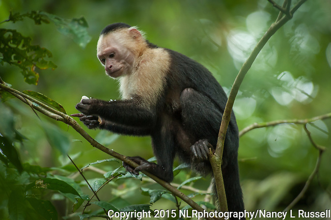 Capuchin Monkey high in the trees