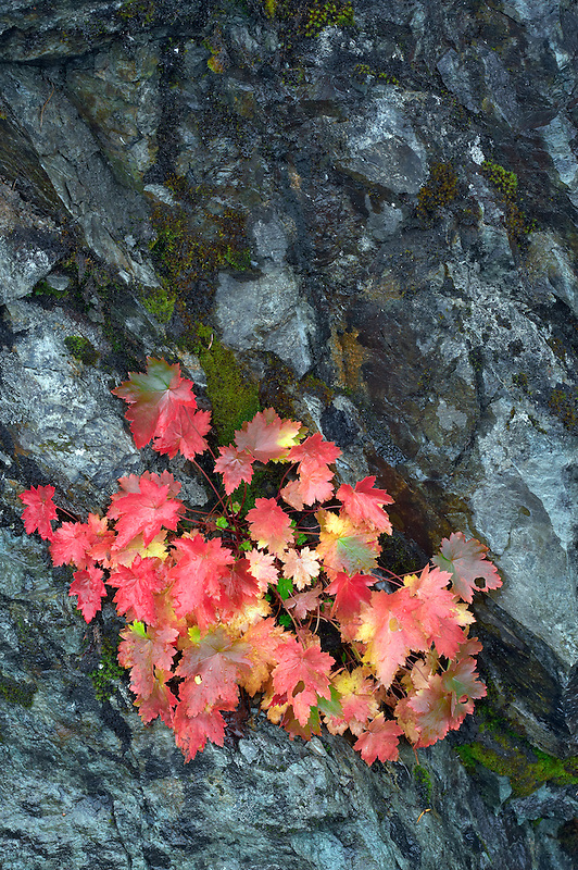 Unidentified plant in fall color in rock wall. Mt. Baker Wilderness. Washington