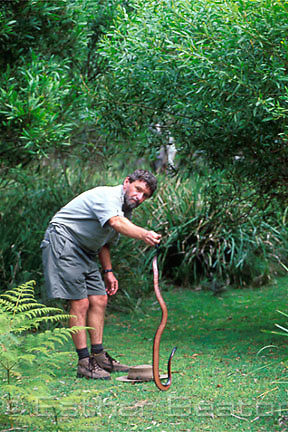 A herpatologist catching Red-bellied Black Snake  nearJibbon Beach, Royal National Park, NSW