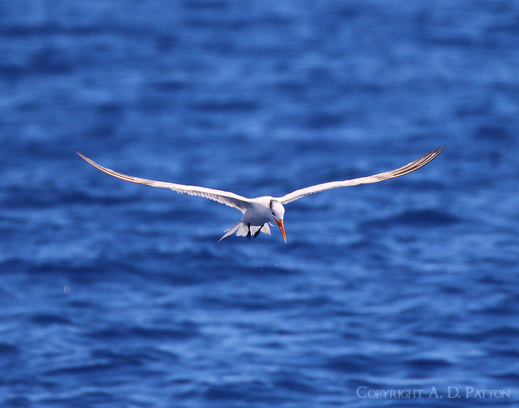 Royal tern in non-breeding plumage