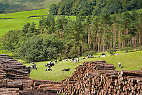 Holstein cattle at grass with woodland, and piles of harvested timber, Whitewell, Lancashire.