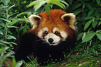 Red Panda (Ailurus Fulgens) Wolong Nature Reserve, China.