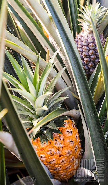 Close-up of pineapples in field on the North Shore of O'ahu