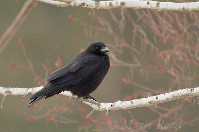 American Crow (Corvus brachyrhynchos) in winter, Ithaca, New York, USA