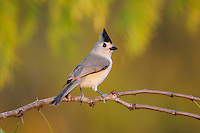 Black-crested Titmouse (Baeolophus atricristatus), adult perched, Dinero, Lake Corpus Christi, South Texas, USA