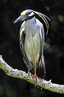 Adult yellow-crowned night -heron