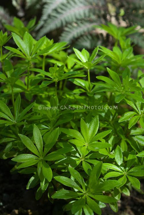 galium odoratum in shade plant flower stock. Black Bedroom Furniture Sets. Home Design Ideas