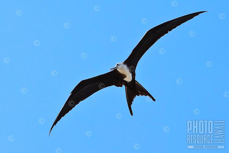 A young female great frigatebird ('iwa or Fregata minor) in flight, Kona Coast, Big Island