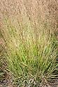 Purple moor grass (Molinia caerulea subsp. caerulea 'Heidebraut'), late August.