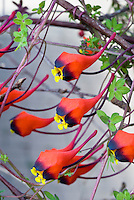 Tropaeolum tricolor, annual climbing vine, Bolivian Nasturtium, in red, purple black and yellow flowers