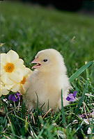 Rhode Island Red Chick in garden beside jonquils and violets, spring USA