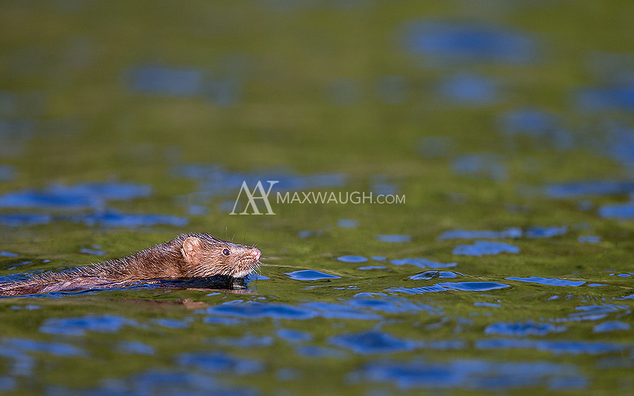 One of several mustelids found in the Great Bear Rainforest is the American mink.  Mink are excellent swimmers.