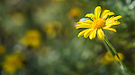 Yellow daisy in a garden, Watsons Bay, Sydney, NSW, Australia