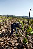 USA, California, Healdsburg, vineyard workers at Quivira Vineyard in Sonoma County
