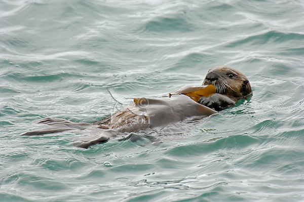 Sea Otter (Enhydra lutris) pup playing with kelp.