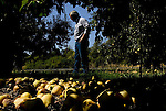 Orchard manager David Weiss walks through a pear orchard filled with fruit rotting on the ground on Tuesday, September 12, 2006. Stepped-up border enforcement has led to a shortage of migrant labor which has left much of the pear crop rotting on the tree and ground in Lake County.