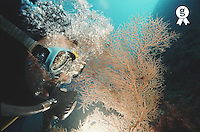 Scuba diver looking at gorgonian coral, underwater view, close-up (Licence this image exclusively with Getty: http://www.gettyimages.com/detail/200387999-001 )