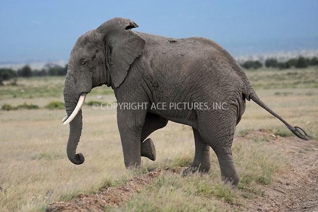 WWW.ACEPIXS.COM<br /> February 27, 2016 New York City<br /> <br /> Elephants seen in Amboseli National Park on February 27, 2016 in Kenya.<br /> <br /> Credit: Kristin Callahan<br /> web: http://www.acepixs.com