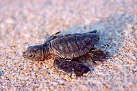 Kemp's ridley sea turtle hatchling, Lepidochelys kempii ( endangered ), Rancho Nuevo, Mexico ( Gulf of Mexico ), Atlantic Ocean