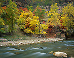 Zion National Park, UT<br /> Fall colored maple, ash, and oaks along the bank of the Virgin River in Zion Canyon