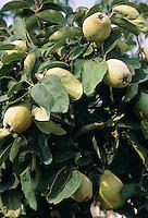 Echte Quitte, Frucht, Cydonia oblonga, Quince, Cognassier
