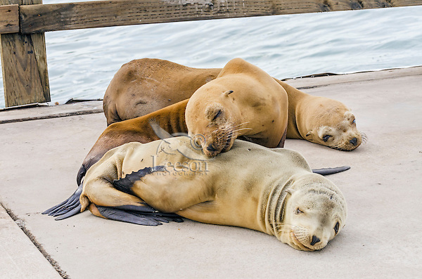 Young California sea lions (Zalophus californianus) pups sleeping on boat dock.  Central California Coast.