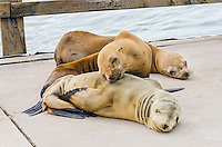 Young California sea lions (Zalophus californianus) pups sleeping on boat dock.  Central California Coast.