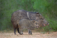 650520306 wild javelinas or collared peccaries dicolytes tajacu forage near a waterhole on santa clara ranch in starr county rio grande valley texas united states