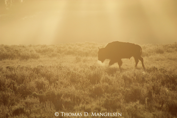 Bison walks through sagebrush in the morning light of Yellowstone National Park, Wyoming.