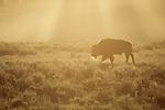 Bison walks through sagebrush in the morning light of Yellowstone National Park, Wyoming.
