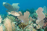 Gardens of the Queen, Cuba; a Nassau Grouper fish swimming amongst several large sea fans on the coral reef