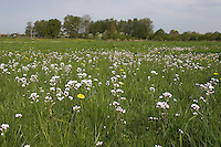 Wiesen-Schaumkraut, Wiesenschaumkraut, Schaumkraut, Cardamine pratensis, Cuckoo Flower, Lady´s Smock, Cardamine des prés
