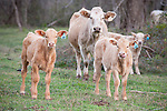 Brazoria County, Damon, Texas; several new calves under the watchful eye of one of their mothers