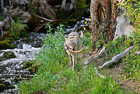 Wild Coyote (Canis latrans) with cutthroat trout it has caught in small stream.  Western U.S., June.