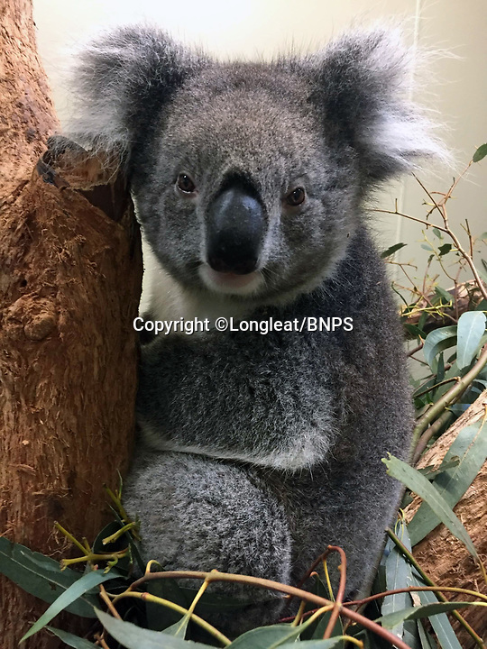 BNPS.co.uk (01202 558833)<br /> Longleat/BNPS<br /> <br /> Pictured: Wilpena, a southern koala who died at Longleat Safari Park in Wilts last year.<br /> <br /> Groundbreaking research carried out by British scientists may help to secure the long term survival of the 'threatened' koala in the wild.<br /> <br /> They have identified a genetic mutation in the marsupials which causes a kidney disease that affects almost 60 per cent of koalas in captivity and the wild.<br /> <br /> The discovery was made by University of Nottingham researchers while carrying out tests on tragic Wilpena, a southern koala who died at Longleat Safari Park in Wilts last year.<br /> <br /> She had been bought over from Adelaide in Australia with four other koalas last October as part of a conservation programme, but succumbed to oxalate nephrosis in January.<br /> <br /> It is hoped the breakthrough will help them to develop cross-breeding programmes to eradicate the genetic mutation.