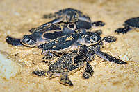 Hatchling, green sea turtle, Chelonia mydas, Sipadan, Borneo Island, Malaysia