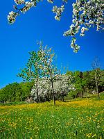 Deutschland, Bayern, Oberbayern, Chiemgau:  Blumenwiese und Apfelbluete | Germany, Bavaria, Upper Bavaria, Chiemgau: flower meadow and fruit tree blossom