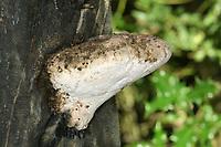Aurantiporus alborubescens