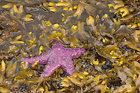 Purple Ochre Sea Star (Pisaster ochraceus), Sunshine Coast, British Columbia, Canada