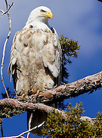 Eagle - Bald - White (Leucistic )