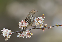 Pine Siskin (Carduelis pinus), adult perched on blooming Mexican Plum  (Prunus mexicana), Hill Country, Central Texas, USA