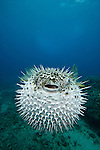The Spotted Porcupine Fish (Diodon hystrix) feeds primarily at night on hard- shelled invertebrates,  Hawaii, USA.